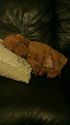 Our wirehaired viszla puppy Zotyi