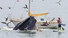Humpback Whale feeding in Avila Beach, California.  Oh my word - the man on the surf board that close!