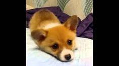 I really want to raise a dog. Especially Welsh Corgi.