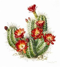 ideas tattoo nature watercolor botanical illustration for 2019 Succulents Drawing, Cactus Drawing, Cactus Painting, Watercolor Cactus, Deco Cactus, Cactus Art, Cactus Flower, Illustration Blume, Nature Illustration