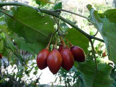 Bel arbuste ornemental, la tomate en arbre, est un sujet qui étonnera vos visiteurs. Ses fruits ovoïdes bien brillants et comestibles, son port formant un parasol et son...