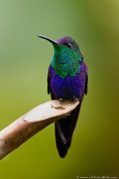 Iridescent Feathers! Male Violet-crowned Woodnymph Hummingbird, Costa Rica.