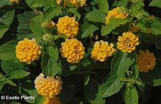 Lantana camara  Lantana  15 seeds -- Find out more about the great product at the image link.(This is an Amazon affiliate link and I receive a commission for the sales)