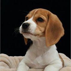 Precious baby beagle