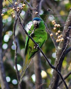 Foto maracanã-pequena (Diopsittaca nobilis) por Daniel Brazil