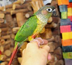 Yellow Sided Green Cheek Conure  www.mdbirdfarm.com