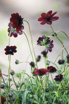chocolate cosmos - I just planted this for the first time this year. chocolate cosmos - I just planted this for the first time this year. Black Flowers, Summer Flowers, Beautiful Flowers, Small Gardens, Outdoor Gardens, Vegetable Garden Planning, Belle Plante, Black Garden, Garden Borders