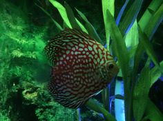 Green on brown discus?  Cool!