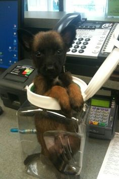 I am cute and I will remain cute until you teach me what a bite sleeve is. than I will be not only cute but dangerous too! Malinois Puppies For Sale, Belgian Malinois Puppies, Baby Puppies, Baby Dogs, Cute Puppies, Cute Dogs, Belgian Shepherd, German Shepherd Dogs, German Shepherds