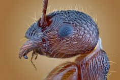 Rote Gartenameise (Myrmica Rubra) by Alex Rühl on 500px