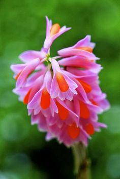 **Dendrobium pseudoglomeratum by Kenneth Er