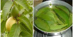 La guayaba es una fruta que tiene mucho más que un buen sabor, así como muchas otras frutas posee grandes beneficios para la salud del ser...