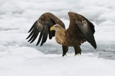 White-tailed Eagle on the drifting ice a few miles North-Easterly of Rausu on Hokkaido, Japan.