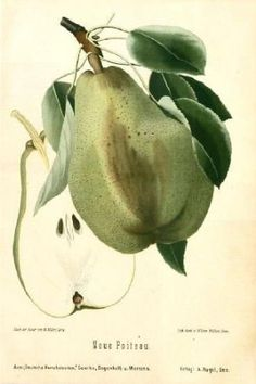 $72.50 Amazon.com: BOTANICAL ANTIQUE PRINT- NEUE POITEAU -PEAR-1894: Home & Kitchen  These beautiful fruit prints by Pierre-Antoine Poiteau (1766-1854) represent some of the greatest fruit prints ever produced, the very pinnacle of the art. From a humble start as a gardener, Poiteau became head of the Botanical School of Paris.