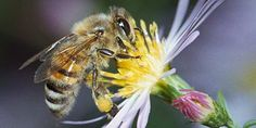 Natuurlijk imkeren (ecologisch bijen houden) - Transitie Pajottenland