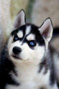 Husky with blue eyes.
