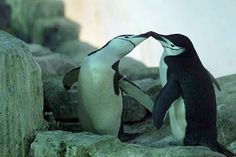 Your morning adorable: Penguins in love Squawk and Milou, two male penguins at New York's Central Park Zoo, began to exhibit courtship behaviour in Penguin World, Penguin Life, Animal 2, Beautiful Creatures, Make Me Smile, Puppy Love, Fur Babies, Cute Pictures, Cute Animals