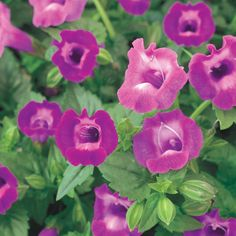 Summer Wave® Large Amethyst - Wishbone Flower - Torenia hybrid-annual-plant in sun or shade, continous bloom or rebloomer, heat tolerant, low maintenance, attracts hummingbirds