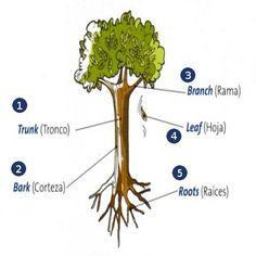 Partes de un Árbol en Inglés   Blog Para Aprender Ingles Tree Study, Picture Dictionary, Montessori Materials, Languages, Farming, Vocabulary, Alice, English, School