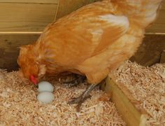 Hatching chicks naturally. When do hen starts laying egg,optimum time,why and when she stops laying eggs. How to know your hen has started egg laying(but in secret place).