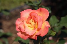 Love your roses? Share them with us for a chance to win great prizes!