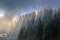 Light on Trees - Pinned by Mak Khalaf Early morning in the pine forest of Madesimo - Vallespluga - Sondrio italy Nature ColorsItalyLandscapesLightMadesimoMontesplugaSondrioTreesValchiavennaVallesplugaWodos by fabiocucchi