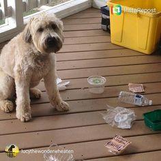 repost via @instarepost20 from @lucythewonderwheaten TGIF!!! I just can't control myself when you leave me alone w the recycle bin!! #fundayfriday #fridayfeeling #wheaten #wheatie #weeklyfluff #wheatenterrier #wheatensoffig #wheatensofinstagram #dogs #dog