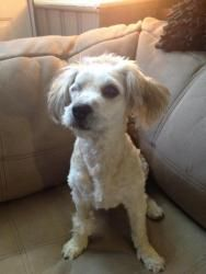 Nala is an adoptable Poodle Dog in Mechanicsburg, PA. Nala, when she was rescued by BARCS. She was NOT a happy puppy! Nala is a 2 yr old miniature poodle mix who is looking for her furever home. Poor ...