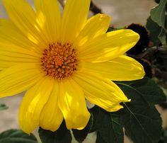 Girasol 01. Un acercamiento a esta flor de intenso color amarillo.
