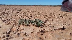 An Australian company& efforts to mine for Karoo uranium have been thwarted again, this time held at bay by a miniature succulent plant. Planting Succulents, Grand Canyon, Miniature, Plants, Travel, Viajes, Miniatures, Destinations, Grand Canyon National Park