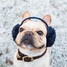 sorry I haven't been posting a lot lately.. I've been too busy fighting off the ladies with these earmuffs on by thelifeof_hank http://ift.tt/1lquM3t