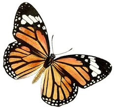 "Monarch butterfly with ""everything happens for a reason"" written in the wing."