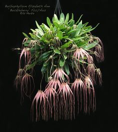 Bulbophyllum 'Elizabeth Ann Buckleberry', probably one of the most commonly grown plants in the genus. Photo © Ed M.; retrieved from The Orchid Source