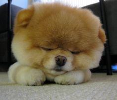 Pomerania puppy having a nap