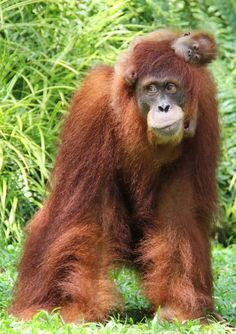 orangutan mothers only have babies every 9 years. and they raise them until they are in their teens!!!