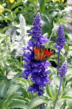 Buy 40 plus 20 FREE large plug plants Salvia 'Sea of Butterflies mixed': Delivery by Crocus.co.uk