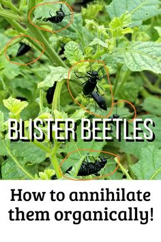Blister beetles are a scourge! They're toxic to livestock, especially horses and sheep, and cause unpleasant welts on humans too, not to mention that they will devour your garden plants. Here's how I battle them - with an update on a recent find that has me WINNING the war on these garden pests - organically! Planting Vegetables, Planting Seeds, Vegetable Gardening, Growing Vegetables, Organic Gardening, Garden Rake, Garden Pests, Have I Won, Potato Bugs