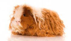 Texel Guinea Pig Cinsi ve Özellikleri