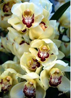 A beautiful.creamy white Cymbidium Orchid from the many orchids at the Atlanta Botanical Garden in Atlanta, Georgia. The petals of this orchid have a waxy texture and grow in winter. They are one of the most popular orchids  in flower arrangement and corsages.