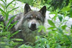 Contre le Loup, tous les coups (vulgaires) sont permis