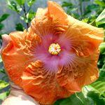 Exotic Hibiscus 'Pumpkin Pie'