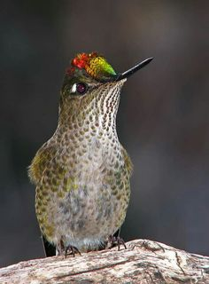 Green backed firecrown, Argentina