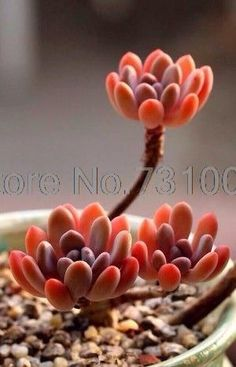 100 pcs/bag Real mini succulent seeds cactus seeds rare perennial herb plants bonsai pot flower seeds indoor plant for home #suculentas