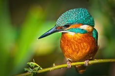 Juvenile Kingfisher by fiestared57, via Flickr