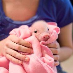 Piggy in a blanket