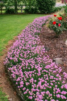 Armeria Pretty Petite Edging Plants, Garden Plants, Lomandra, Snow In Summer, Landscaping