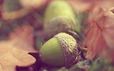 Acorns and autumn oak leaves HD Wallpaper Oak Leaves, Autumn Leaves, Plant Leaves, Computer Wallpaper, Wallpaper Backgrounds, Leaves Wallpaper, High Quality Wallpapers, Autumn Day, Fall Harvest
