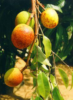 Mangaba (Hancornia speciosa Gomes, Apocynaceae) Origem: Brasil, conhecido em sua região nativa como) mangaba ( pronúncia Português:  [mɐɡabɐ] ), é uma fruta, que também é uma árvore de madeira de Hancornia gênero no Apocynaceae família. Esta planta é citada na Flora Brasiliensis por Carl Friedrich Philipp von Martius . Além disso, é útil para a apicultura .