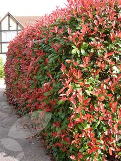 Photinia × fraseri 'Red Robin' I had one in a previous garden and they make a wonderful splash of colour.