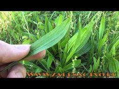 Liečivé rastliny z našej prírody - 5. Časť Skorocel kopijovitý - YouTube